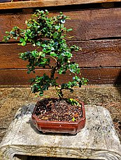 "10"" Fukien Tea"