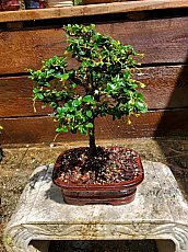 "6"" Fukien Tea"