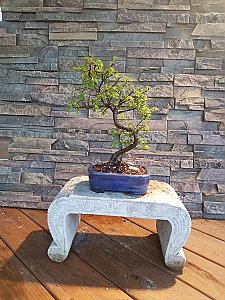Informal Upright Chinese Elm